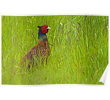 Pheasant 2 Poster