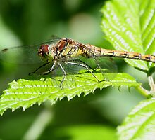Common Darter by Peter Stone