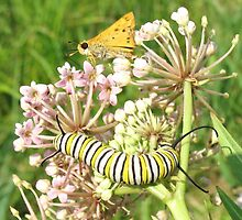 skipper butterfly and caterpillar by susiebug