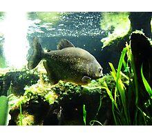 Piranha! Photographic Print