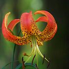 Lilium Martagon by James Brotherton
