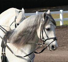 Lipizzan Stallions by Sheryl Unwin