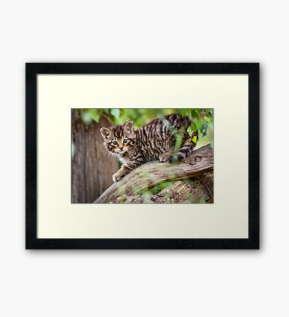Tiger in a Tree Framed Print