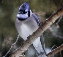 Blue Jay by Lori Deiter