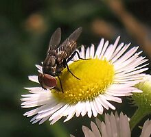 fly on flower by susiebug