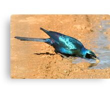 Burchell's Starling Canvas Print