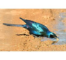 Burchell's Starling Photographic Print