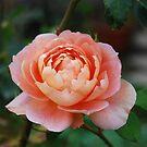 Rose by OksanaAyvaz