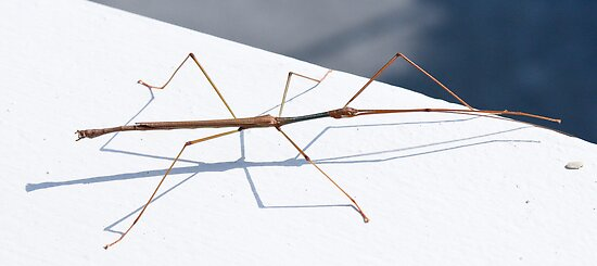 Stick Insect by David Clarke