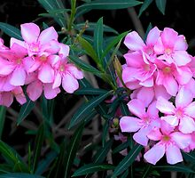 Magnificent Oleander blooms by Ann Reece