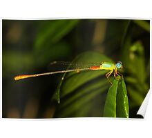 Bicolor Damsel by the Pond Poster