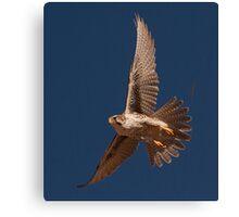 012211 Prairie Falcon Canvas Print