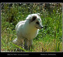 Arctic Fox - - Posters & More by Maria A. Barnowl