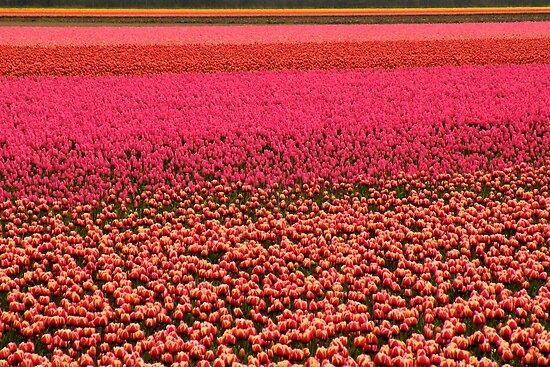 Colors of Tulip by Jo Nijenhuis