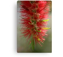 Bottle brush tree Canvas Print