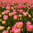 Candy Tulips by Jo Nijenhuis