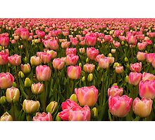Candy Tulips Photographic Print
