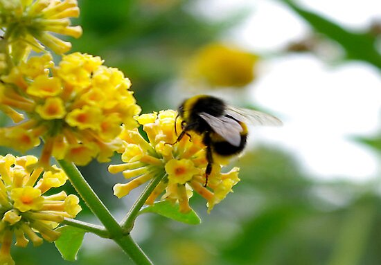 Bee #5 by Trevor Kersley