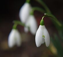 Galanthus by Mark Wilson