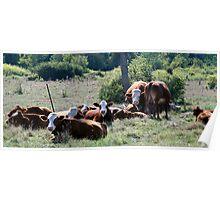 Cows - Dunrobin Ontarioco Poster