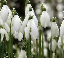 Woodland Whites ~ Snowdrops  by Susie Peek