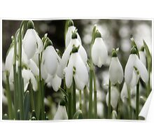 Woodland Whites ~ Snowdrops  Poster