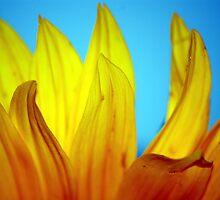 Sunflower Glory by Lucy Adams