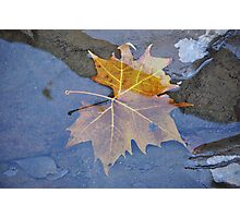 Sycamore Leaf Photographic Print