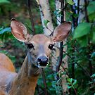 Doe a Deer by Diane Blastorah