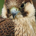 Barbary Falcon by Lindie