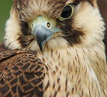 Barbary Falcon by Lindie Allen