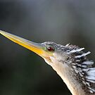 Florida Everglades / Anhinga by Mark Bolen