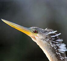 Florida Everglades / Anhinga by Mark Bolen