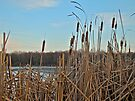 Cattails at Skymount Pond, PA by MotherNature