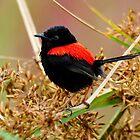 Red Backed Fairy Wren taken at Julatten Nth Qld. by Alwyn Simple