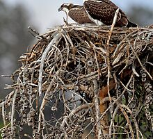 The Nest by Rob Lavoie
