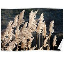reeds in light Poster