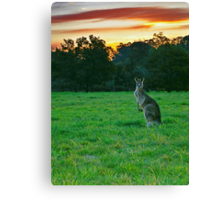 Macropus Giganteus (Skippy The Killer Kangaroo) Canvas Print