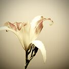 Joseph's Lily by Gustav Snyman