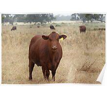 no bull Poster