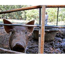 Happy Pigs Photographic Print