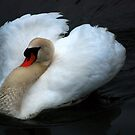 Swan Close-up by madman4