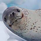 Smile!  You've just seen lunch! (Leopard Seal, Pleneau Island, Antarctica) by Krys Bailey