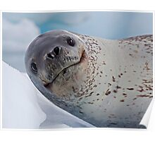 Smile!  You've just seen lunch! (Leopard Seal, Pleneau Island, Antarctica) Poster