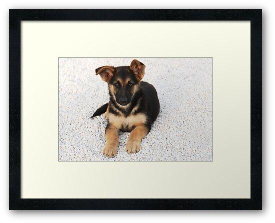 German Shepherd Puppy by Beatriz  Cruz