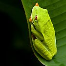 Red-eyed Tree Frog 2 by Raymond J Barlow