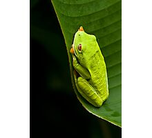 Red-eyed Tree Frog 2 Photographic Print