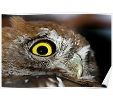Pearl Spotted Owlet Poster