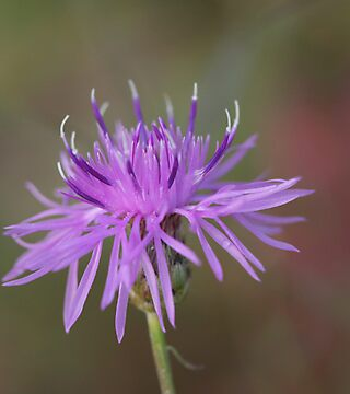 Spotted Knapweed by Renee Blake
