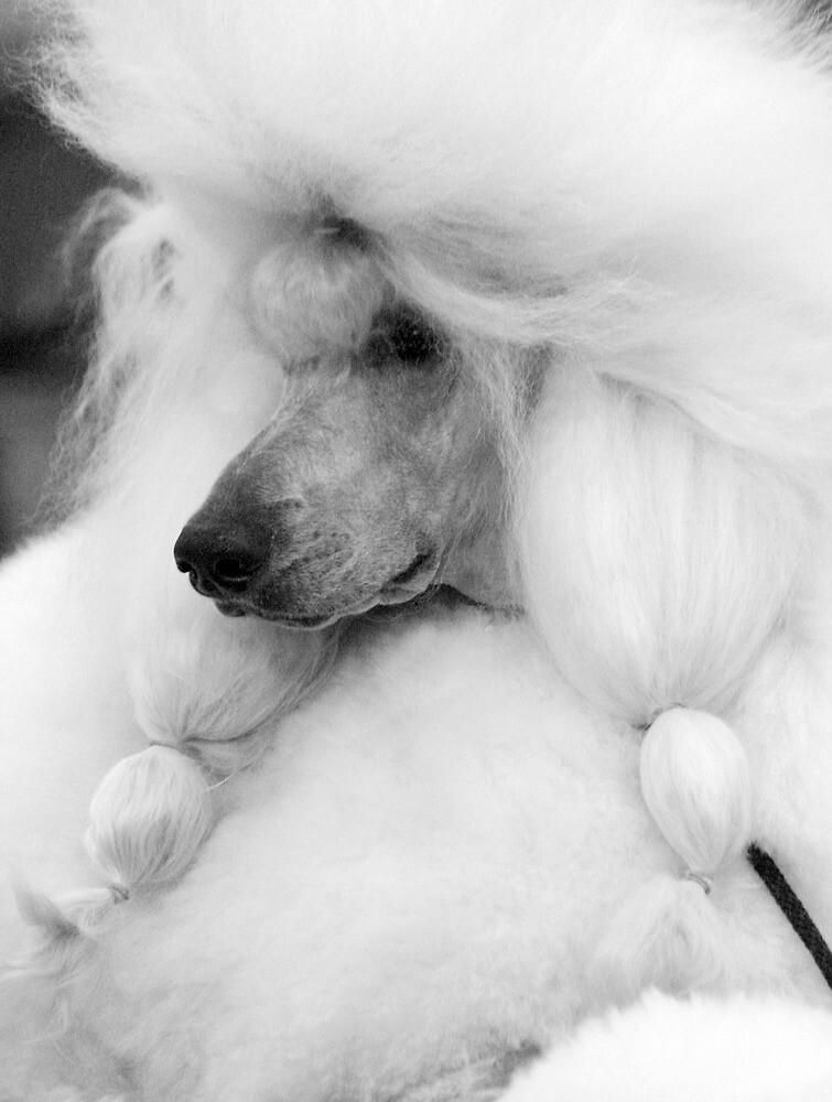 Fluffy Poodle by niksheppard
